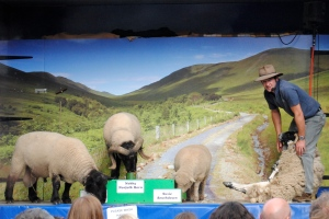 Let's Talk Farming Mini Sheep Show